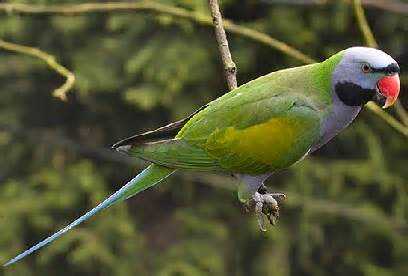 Lord-Derby-s-Parakeet-5